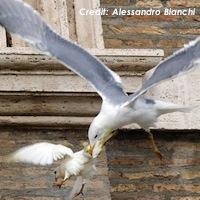 gull-dove