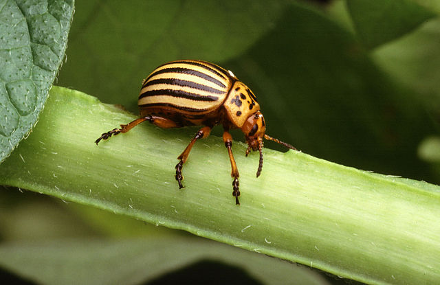 Colorado-potato-beetle-usda