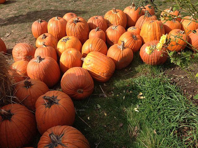 Plumper_Pumpkin_Patch